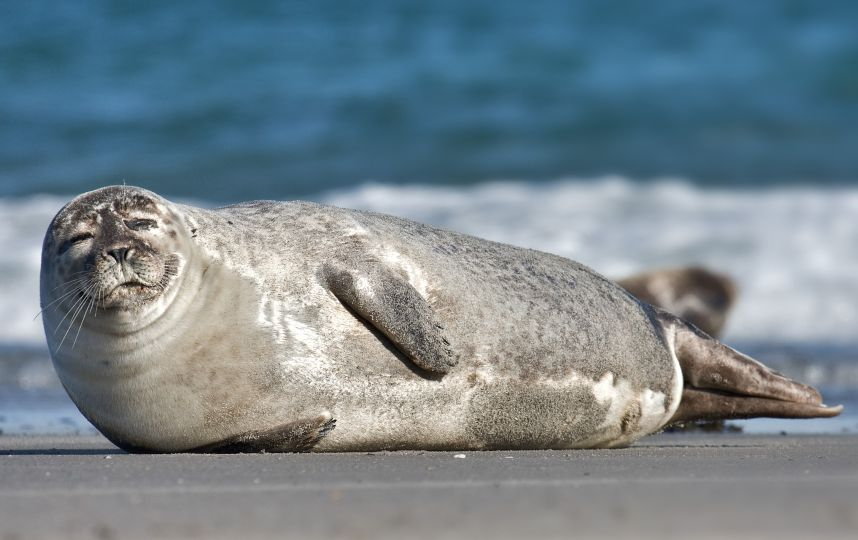 Common_Seal_Phoca_vitulina.jpeg